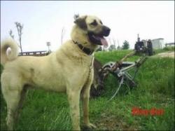 Madımak Kangal Köpeği Üretim Çiftliği